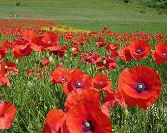 Papaver rhoeas,Red Field Poppy 3000 Seeds