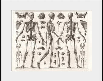 1850 Anatomy Of HUMAN SKELETON - NEW Giclee Art Print Poster Skull Bones Anatomical Autopsy Illustration Medical Dissection Drawing P11