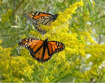 Monarchs on Goldenrod, nature photo, wall art, spring, home decor, gift 20, butterfly fine art photograph, orange, yellow, insect wildlife