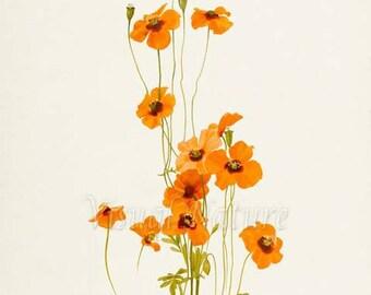 Wind Poppy Flower Art Print, Botanical Art Print, Flower Wall Art, Flower Print, Floral Print, Orange Flower, Orange Poppy Print