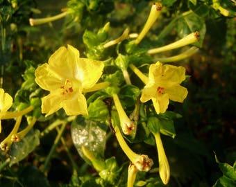 Mirabilis multiflora Yellow Quart Plant FREE SHIP