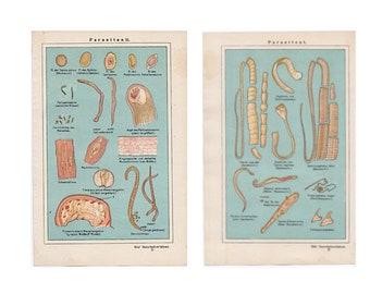 2x  c. 1926 PARASITE ANTIQUE LITHOGRAPHS - original antique prints - medical print organism - band worm - tape worms