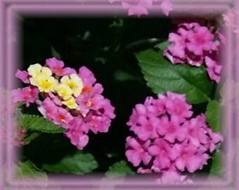 Lantana Flower Essence - Nature's Remedies