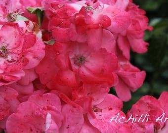Pink Flowers- Elizabeth Park- Original Photograph