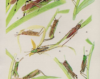 Antique print.  GRASSHOPPERS 15 Colored lithograph 57 years old print. Antique beetle insect print plate.6 x 4.25 inches, 15x10.75cm