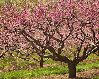 Orchard photograph - Spring orchards in bloom,  New England fruit trees, pink with blossoms, fine art print home decor