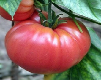 German Johnson Tomato  Garden Seeds 30+ Seeds Rare Naturally Grown Open Pollinated Heirloom Gardening