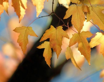 Fall photography, fall color, autumn photography, color photography, fall leaves, fall art, trees, tree photography, fall print