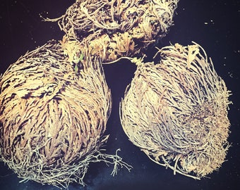 Rose of Jericho - Resurrection Plant - Ritual Water - Pagan - Wicca - Wiccan - Santeria - Voodoo - Hoodoo - Occult - Flower