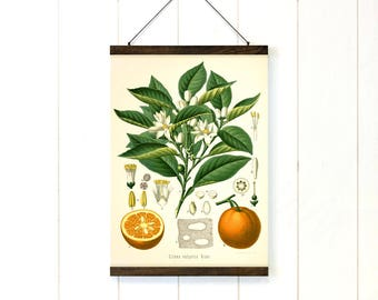 Oranges print botanical chart poster hanger Citrus reproduction print pull down chart Educational chart diagram Fruit wall art dining room