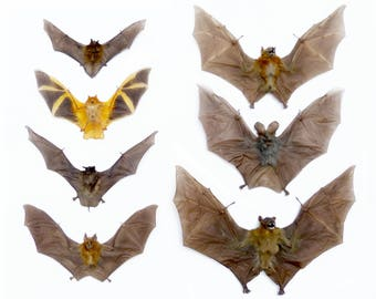 Real Taxidermy Bats - Variety: Vesper, Painted, Mastiff, Fruit, Vampire, Leaf-Nosed (unframed/unmounted)