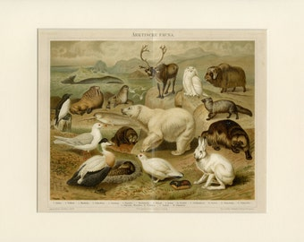 Arctic Animals Prints C.1890 Antique Lithograph - Matted 12x16 - Nordic Fauna Reindeer, Polar Bear, Whale - Wall Art, Gift Idea, Home Decor