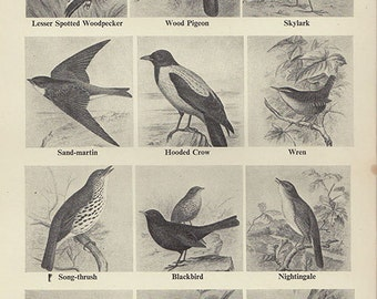 Antique lithograph Print, BIRD CHART beautiful wall art vintage b/w lithograph feathers illustration plumes birds bird