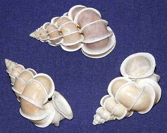 The Precious Wentletrap~Epitonium scalare Shell 50/51mm. Collector Seashell~Each ~ We Do Not Offer International Shipping ~