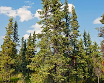 TreesAgain Black Spruce Tree - Picea mariana - 4 to 8+ inches (see state restrictions)