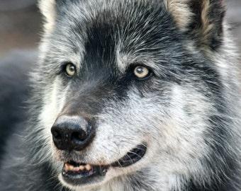 Grey Wolf Photograph, Gray Wolf Photo, Nature Photography