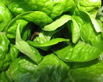 3,000 Buttercrunch Lettuce Seeds Butter Crunch Seed