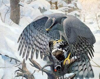 Bird, vintage print, Goshawk by Louis Agassiz Fuertes