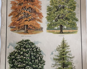 VINTAGE 1930's School Poster, Wall Chart, TREES, Beech, Sycamore, Horse Chestnut, Larch, Woodland