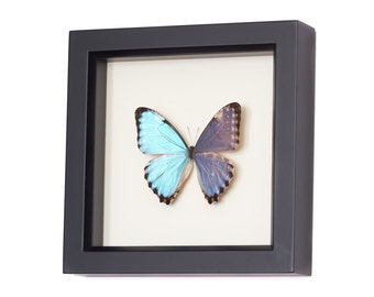 Real Blue Morpho Portis species Butterfly Display