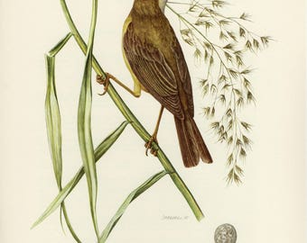 Vintage lithograph of the Eurasian reed warbler from 1953