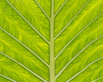 Leaf Photograph, Tropical Wall Art, Green Office Decor, Botanical Photo, Abstract Wall Art, Green Color Palette, Bedroom Decor, Cheerful Art