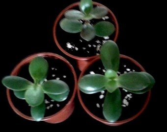 1 Jade Plant-Money Tree-Rooted In A Plant Pot.