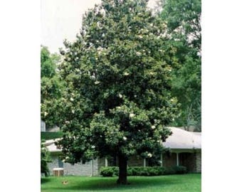 10 Sweetbay Magnolia Tree Seeds, Magnolia virginiana