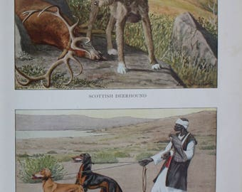 antique print scottish deerhound and persian gazellehounds or slughis 1927