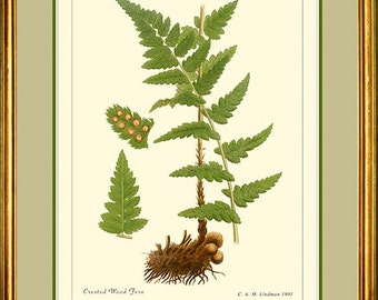 CRESTED WOOD FERN - Vintage Botanical  print reproduction 502
