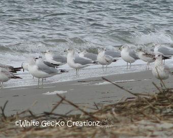Seagulls, Beach, Sullivans  Island SC, Charleston Harbor