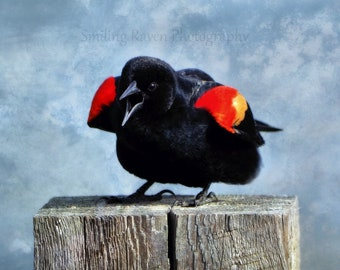 Shout It Out Loud - PHOTO PRINT - Red-Winged Blackbird Singing
