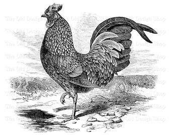 Vintage Kulm Rooster Clip Art Printable Graphics Digital Download PNG JPG Image