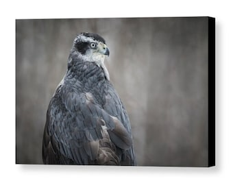 Goshawk Gallery Wrapped Canvas, Raptor Wall Art, Bird of Prey Nature Photography, Ready to Hang, Unique Home and Office Decor, Hawk