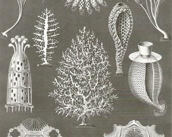 Original Vintage Ernst Haeckel Sponges Ocean 1960s bookplate print chart wall print antique b/w illustration lithograph ocean sea 5