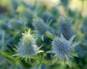 Blue flower photography, floral art print, botanical print, nature photograph 11x14, Sea Holly flower picture, blue and green wall art decor