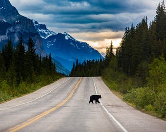 Nature Photography, Bear crossing Highway at Sunset in Jasper National Park, Canada, Print