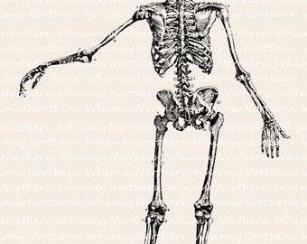 Skeleton Clip Art – Halloween Clip Art - Anatomy Illustration – Anatomy Clip Art – Digital Stamp - Printable Graphic – commercial use