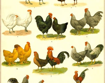 Chicken Breeds Chart - Vintage Chicken Art Print - Kitchen Wall Art - Chicken Breed Poster - Kitchen Art - Farmhouse art - Vintage Chicken