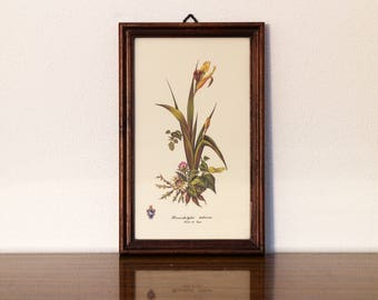 Vintage Flowers framed print hermodactylus tuberosus botanical floral art illustration