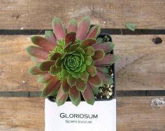 Gloriosum Sempervivum Plant, Hens and Chicks, Extremely Cold Hardy Succulent/ Winter Hardy Plants / Rock Garden Plants / Succulent Favors