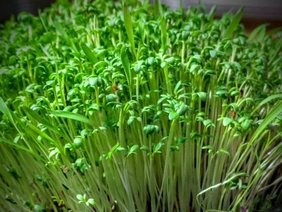 Garden Cress Microgreen Wellness Kit, Grow Your Own Crops of Fresh & Live Microgreens to Harvest and Consume Right in Your Home