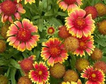Gaillardia pulchella,  Indian Blanket 100 seeds