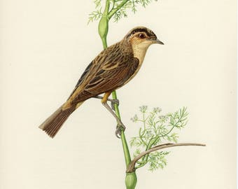 Vintage lithograph of the aquatic warbler from 1953