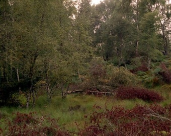 Silver Birch Woods, Loch Ness, Scotland 8x10 Matted Photograph Alba Ranch  Forest Wood