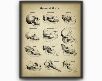 Mammal Skulls Anatomy Poster - Mammal Skull Skull Illustration Print - Animal Biology Anatomy Chart - Skeletal Anatomy Science Print