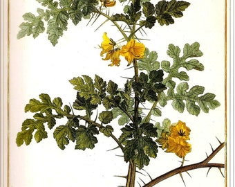 Botanical Print REDOUTE Vintage 1990 FLOWERS Color Art Frameable Original Book Plate 10 Solanum Cornutum L. Beautiful Yellow Flowers