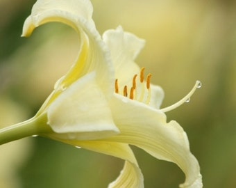 Poetry - Flower Photography - Pale Yellow Day Lily with Water Droplets - Floral Print - 4x6, 5x7, 8x10, 11x14, 16x20