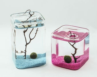 Marimo Moss ball  small and medium cube terrarium- water plant