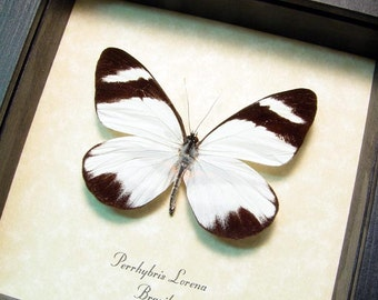 Perrhybris Lorena The Rain Forest Real Framed Butterfly 8362